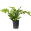 Fern Maidenhair